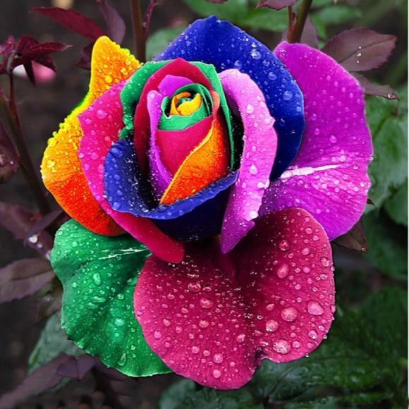 Perennials Beautiful Flowering Roses 500 Pcs Rose Seeds Rainbow Colors